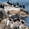 Harbor Seal and Cormorants
